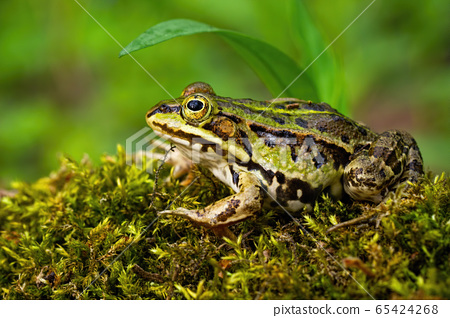 Inconspicuous edible frog hiding below a green leaf in summer 65424268