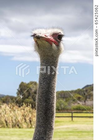타조농장,케이프타운,남아프리카공화국,아프리카 65425062