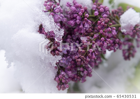 Unseasonable spring snowfall covering lilac buds 65430531