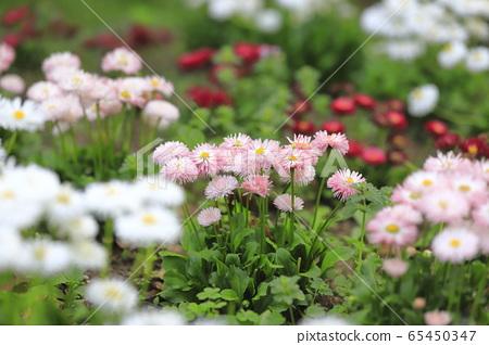 다채로운 데이지 꽃 65450347