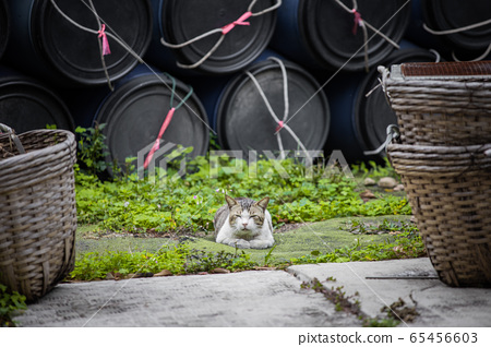 Cute Stray cat outdoor in village in Hong Kong, 65456603