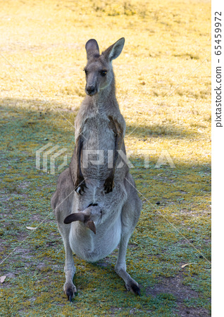 Australian Red kangaroo in the wild 65459972