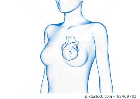 人的女性心臟3D模型 65469783