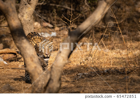 Huge male leopard or panther or panthera pardus fusca walking in jhalana forest reserve, jaipur, rajasthan, india 65472851