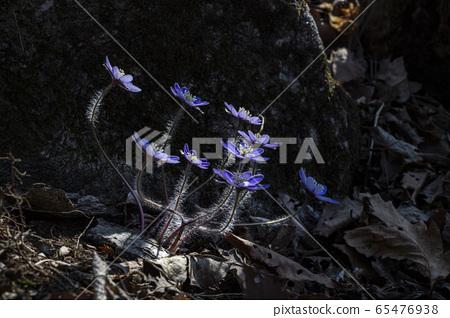 Korean Wildflower 65476938