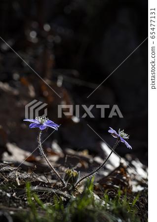 한국의꽃 65477131