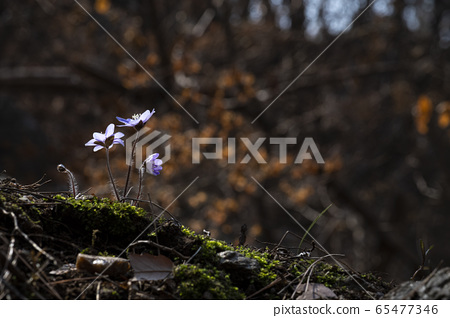 Korean Wild Flowers 65477346
