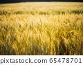 小麥圖像 65478701