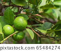 Green Lemons on the tree in daylight. 65484274