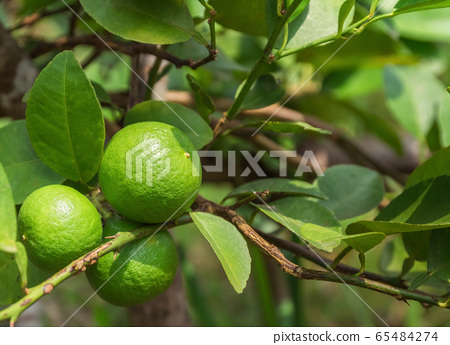 Green Lemons on the tree in daylight. 65484274