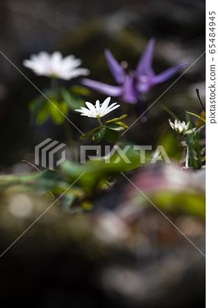 韓國野花 65484945