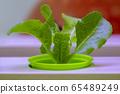 植物,生菜,水培 65489249