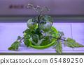 植物,生菜,水培 65489250