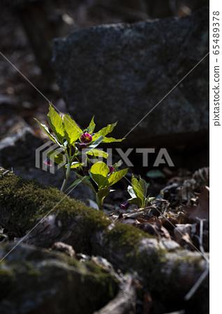 한국의 야생화&들꽃 65489378