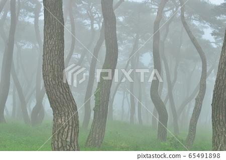 안개와 소나무 숲 65491898
