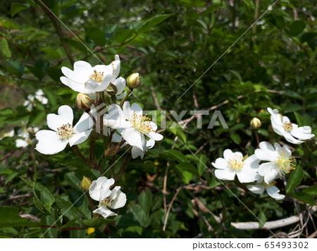 찔레꽃 65493302