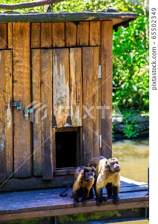 Husa omalis [animal] 65502349