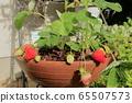 在家庭菜園的草莓 65507573