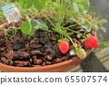 在家庭菜園的草莓 65507574
