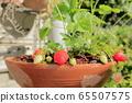 在家庭菜園的草莓 65507575