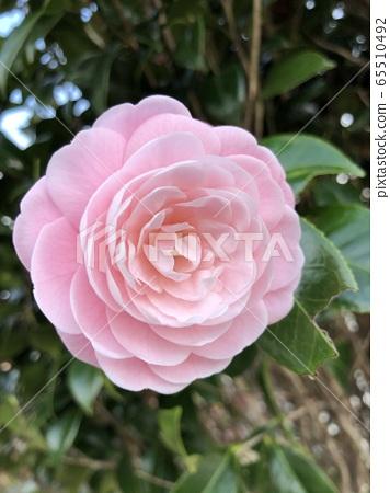분홍 동백꽃  65510492