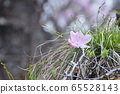 กลีบต้นปาล์มสีแดง (คาโกยามะ / โทริอิพาส / เมืองเมบาชิจังหวัดกุนมะ) 65528143