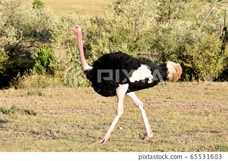 鴕鳥(肯尼亞馬賽馬拉國家野生動物保護區) 65531683