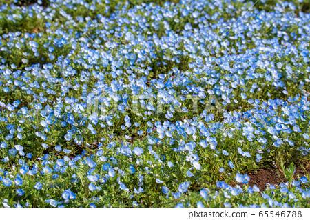 오미야 꽃 언덕 농림 公苑 봄 네모히라 사이타마시 65546788