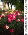 Red roses of Nakanoshima rose garden in Osaka prefecture Kita Ward Osaka city 65556370