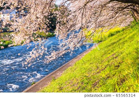 《靜岡縣》春天的形象・六月河沿岸的一排櫻桃樹 65565314