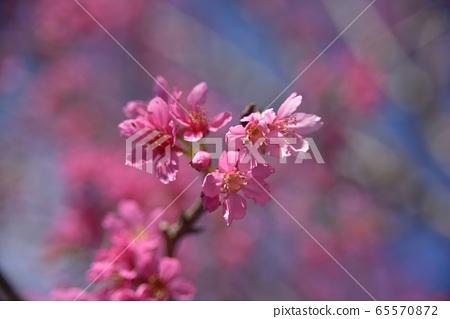 在陽光下的美麗的櫻花。 65570872