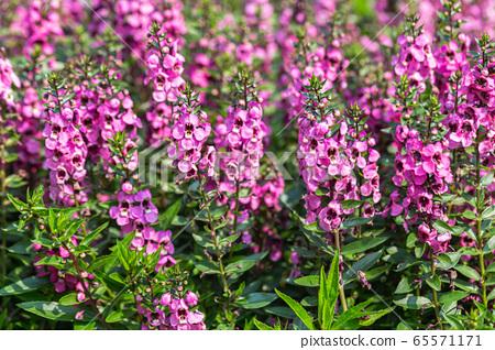Angelonia Serena flower in garden at sunny summer or spring day. Purple flower. 65571171