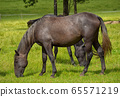 beautiful brown horse in a meadow 65571219