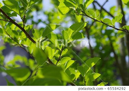 때죽 나무의 새잎 65584292