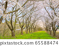 Kakunodate's cherry blossoms, cherry trees in full bloom, blue sky 65588474
