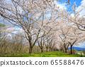 Kakunodate's cherry blossoms, cherry trees in full bloom, blue sky 65588476