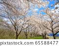 Kakunodate's cherry blossoms, cherry trees in full bloom, blue sky 65588477