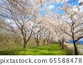 Kakunodate's cherry blossoms, cherry trees in full bloom, blue sky 65588478