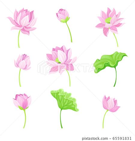 Open Tender Lotus Flower Bud on Leaf Stalk Vector Set 65591831