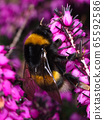 Foraging bumblebee flying in front of a purple flower heath in search of pollen at the end of the winter season 65592586