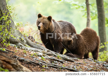 Brown bear cub kneeling by its mother and drinking milk in green forest 65607715