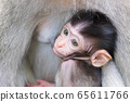 Baby monkey hiding and sucking mother's chest 65611766