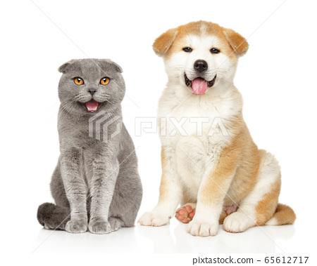 Scottish fold cat and Akita puppy 65612717