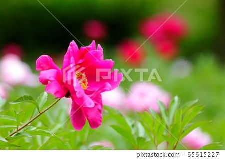 작약꽃,꽃봉우리, 65615227