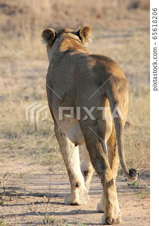 Lioness walking on a safari (Kruger National Park, South Africa) 65618206