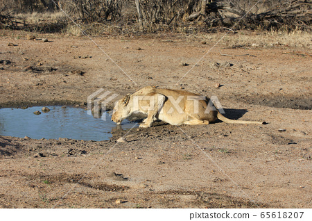 Lioness drinking water (Kruger National Park, South Africa) 65618207
