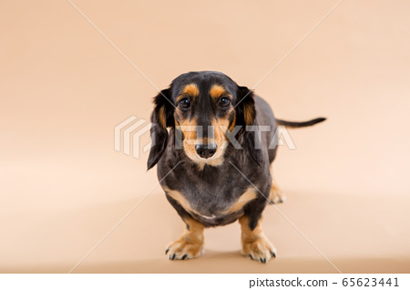 臘腸犬 65623441