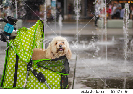 a toy poodle stick his head out from pet trolley and looking at the camera, smile dog 65625360