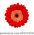 Gerbera flower isolated on white, red 65625656