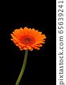 Head and stem of rain-spattered orange gerbera 65639241